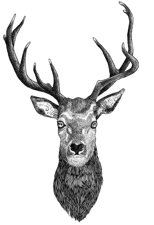 pen drawing of a deer